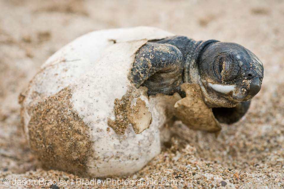 sea turtle eggs hatching